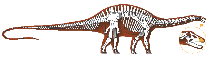 Apatosaurus, highlighting snout, illustrated by Michelle Leveille for LACMNH