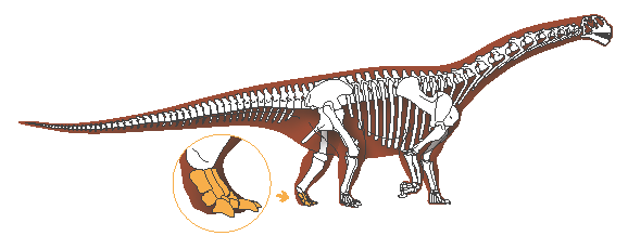 Camarasaurus, highlighting pedus, illustrated by Michelle Leveille for LACMNH