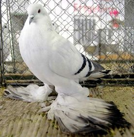 My apologies - I don't know who to credit for this photo of Jürgen Sohl's old ice-barred pigeon hen.