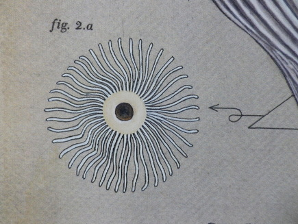 Medial section through the mushroom, showing the gills.