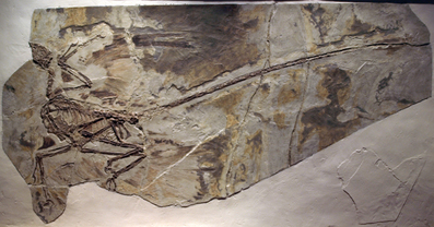 Microraptor fossil in the Paleozoological Museum of China