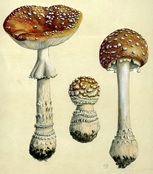Amanita muscaria watercolor by Hermann Jahn.