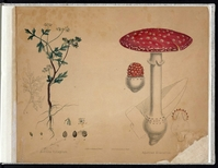 The same type of mushroom (on the right) printed by Augustus Köllner in the 1850s.