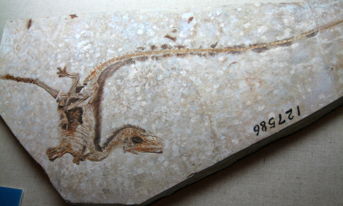 Sinosauropteryx fossil. This theropod could not fly, yet it had downy proto-feathers along it's back.